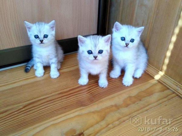 Bardzo dobra Ogłoszenia Białystok Online: gotowe do sprzedaży kocięta LI65
